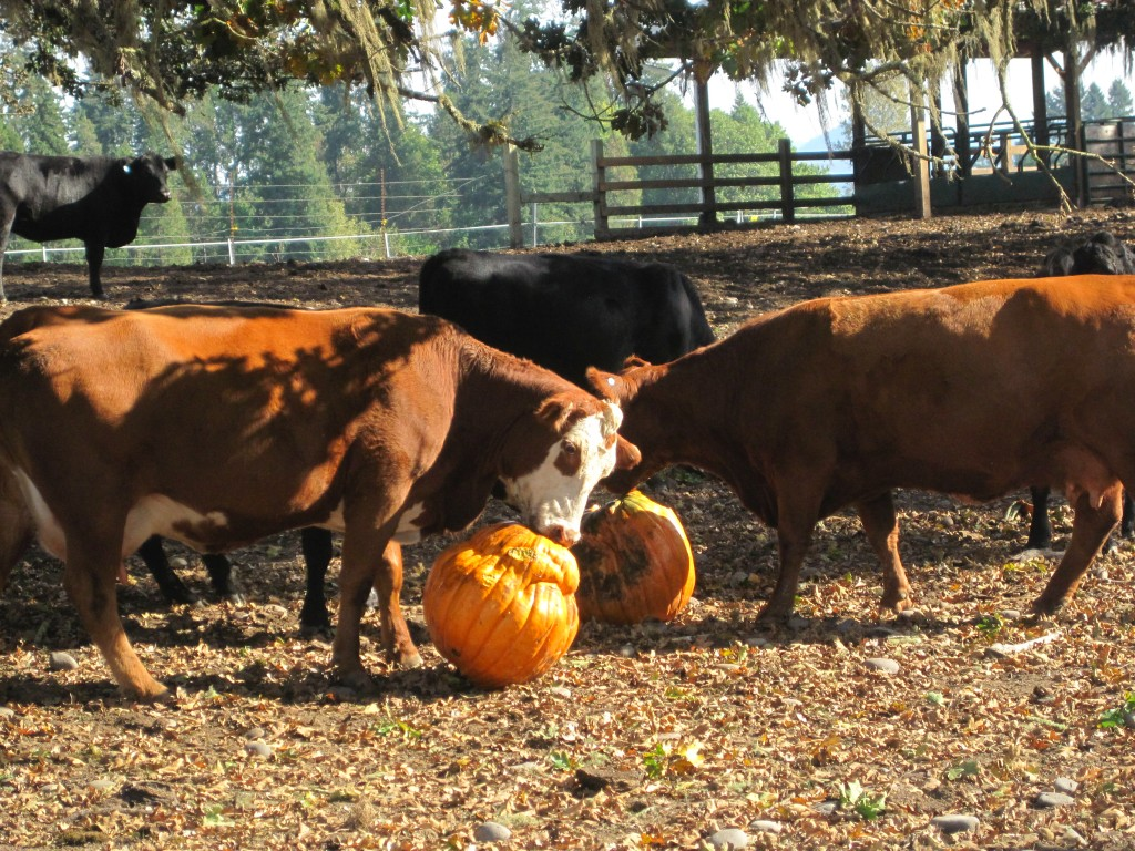 A big, juicy pumpkin is a special treat for these cows in the fall. Photo by Vanessa Salvia