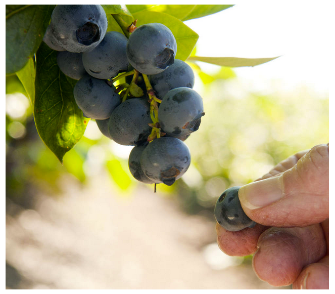 Blueberry 'Earliblue' ripens in midsummer. Photo courtesy of Lynn Ketchum/OSU Extension Service)